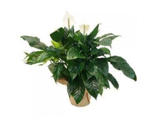 comprar planta spathiphyllum entrega de plantas florais. Black Bedroom Furniture Sets. Home Design Ideas
