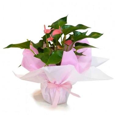 Vaso de Anthurium Cor-de-Rosa