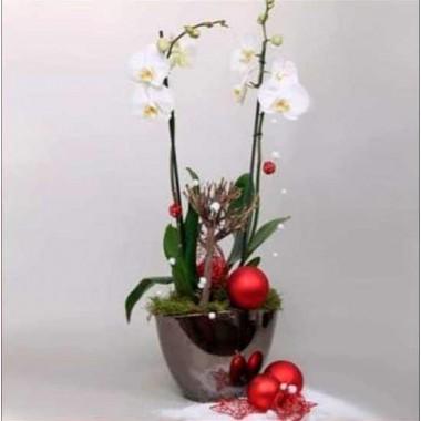 Orquídea Branca Natalícia