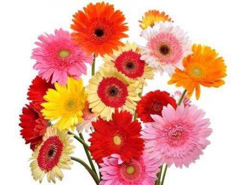 Flores para Empresas - GERBERAS DIA DA MULHER