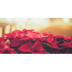 Significado das Flores Vermelhas de Natal e da Poinsettia Vermelha